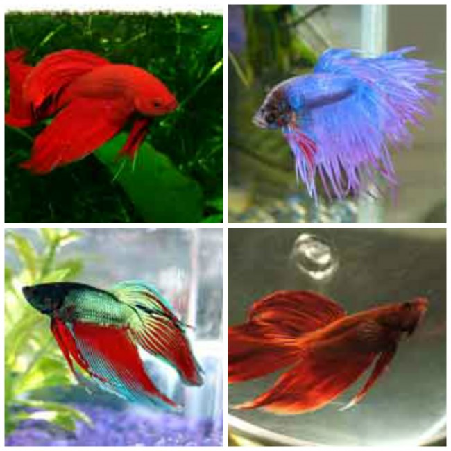 Everything You've Wanted to Know About Betta Fish