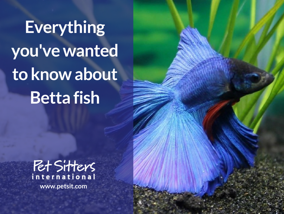 How to tell the sex of a betta fish